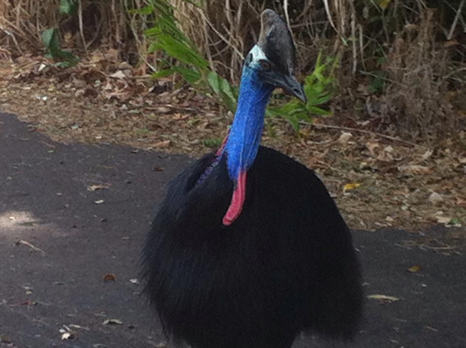 Torbay ostrich