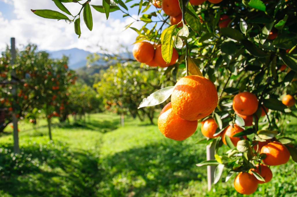 bigstock-orange-tree-46387138